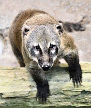 (623)見どころまんさいの動物 アカハナグマ