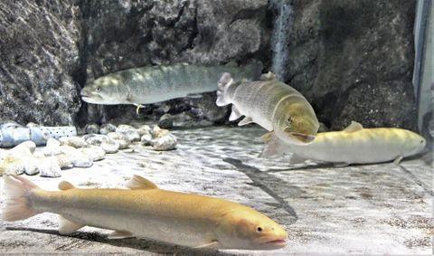 (593)まぼろしの魚に会えた イトウ