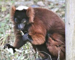 アカエリマキキツネザルは子どもを育てるための簡単な巣をつくる。サルの仲間では珍しい=埼玉県こども動物自然公園