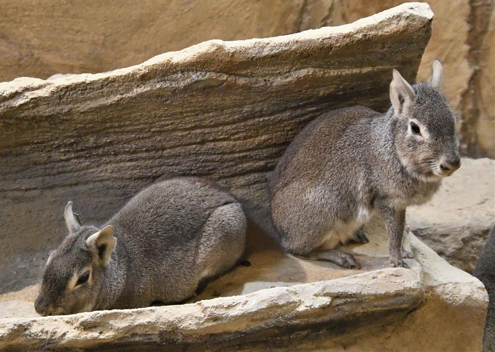 ヒメマーラは乾いた土地にいるので、水分の多いえさはあまりやらない=埼玉県東松山市の埼玉県こども動物自然公園