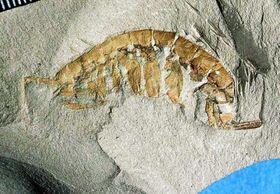 愛知県・知多半島の「師崎層群」で見つかったヨコエビ科の化石(あいちに自然史博物館を!協議会提供)