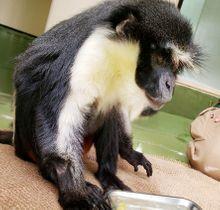 円山動物園のダイアナモンキーの雄「ワシントン」=札幌市(同園提供)