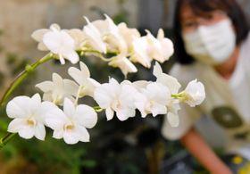 温室の新装オープンを記念して展示されている「マサコ・コウタイシ・ヒデンカ」=あわじグリーン館