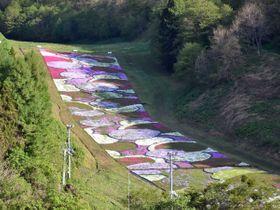 上空15メートルから見た奥入瀬渓流温泉スキー場のシバザクラ。白やピンクの花が帯状に見える