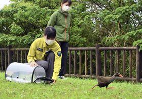 治療後、野生に復帰するヤンバルクイナ=4月、沖縄県国頭村(NPO法人「どうぶつたちの病院 沖縄」提供)