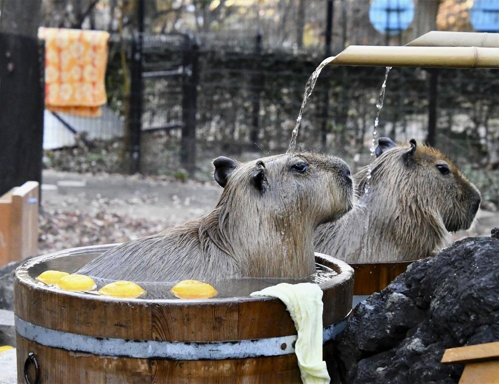 打たせ湯をするカピバラ=埼玉県こども動物自然公園