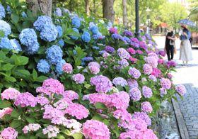 色とりどりのアジサイが咲き誇る「あじさいロード」=佐世保市、ハウステンボス
