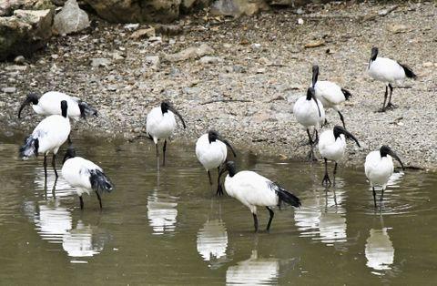 (609)エジプトから消えた「神聖な鳥」 アフリカクロトキ