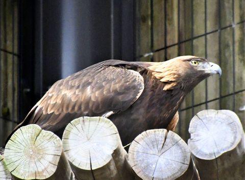 (620)頭の後の羽が金色に輝く イヌワシ