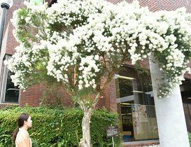 【白い綿毛のような花を咲かせるティーツリー=玉城町役場で】