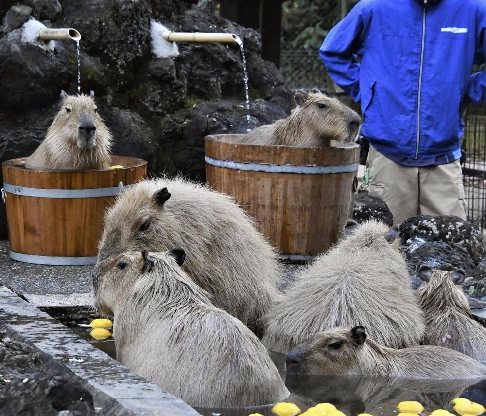 カピバラ温泉につかるカピバラたち=埼玉県こども動物自然公園