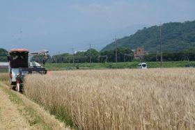 収穫が進む黄金色の小麦畑=秦野市上大槻