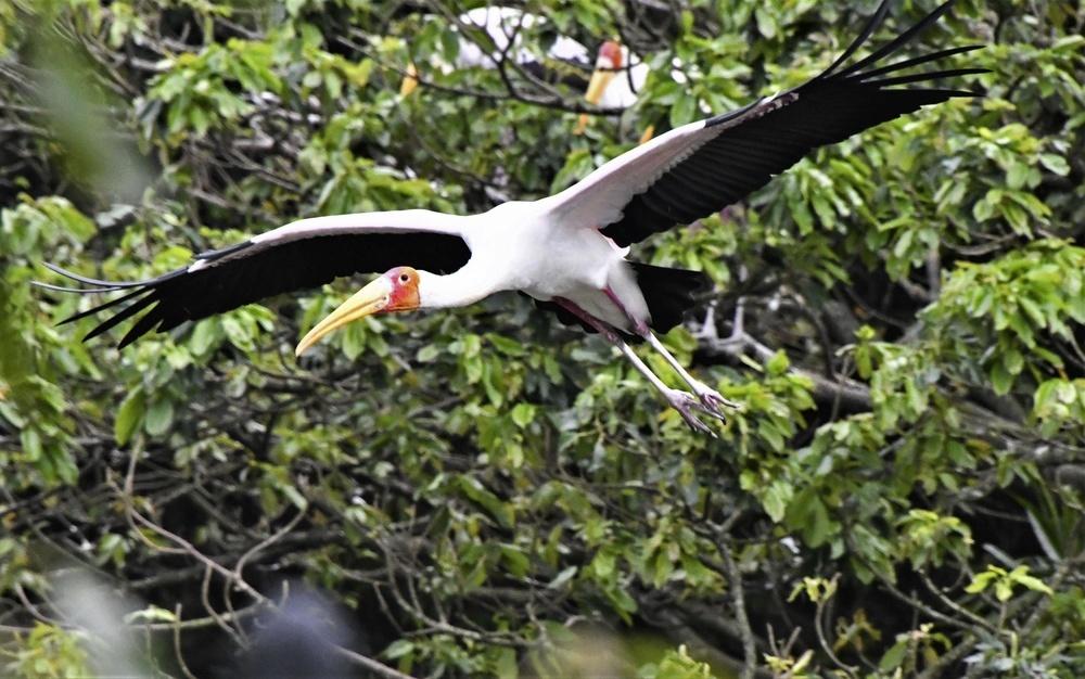 飛ぶアフリカトキコウ。つばさを広げると、とても大きい=ネオパークオキナワ