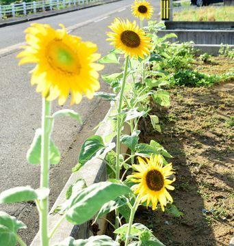 夏休み明けがつらい子どもへ…大輪のヒマワリは相談所の目印 広がる福井市の女性発の活動