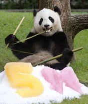 5歳の誕生日を迎えたジャイアントパンダの「結浜」=18日午前、和歌山県白浜町のアドベンチャーワールド