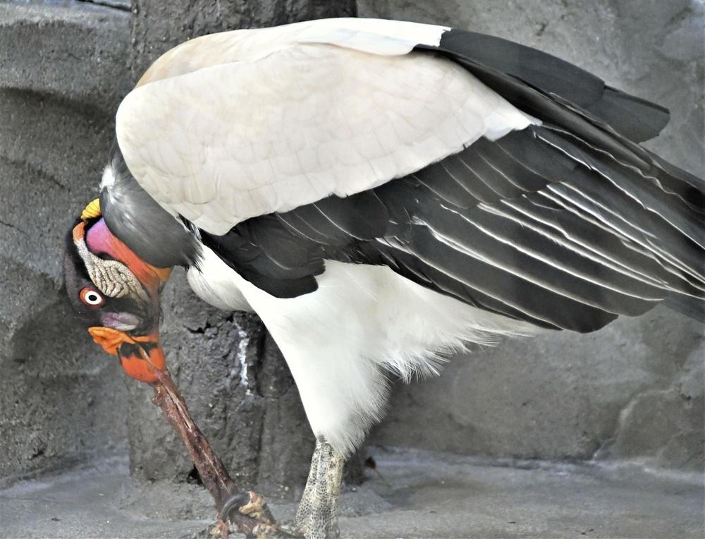 くちばしで肉をひっぱるトキイロコンドル=名古屋市の東山動植物園