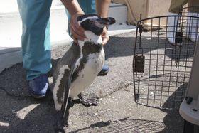 鳥羽水族館に譲渡するため、ケージに移されるフンボルトペンギン=23日午前、三重県志摩市