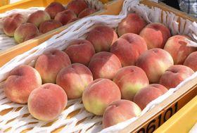 福島県桑折町で収穫されたモモ「あかつき」=23日