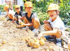 ジャガイモを収穫する園児