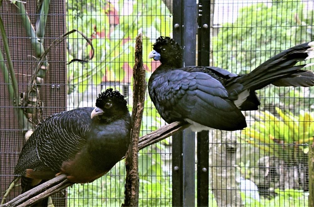 木にとまるアオコブホウカンチョウ。左がメスで右がオス。2羽は仲がよさそうだ=ネオパークオキナワ