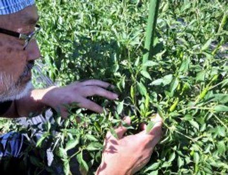 「堺鷹の爪」認証 なにわの伝統野菜 明治から生産続く
