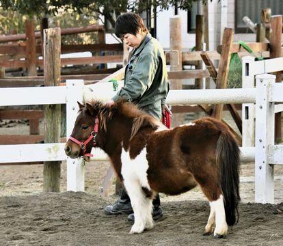 (629) 世界一小さい馬   ファラベラ