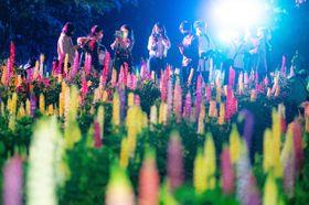 ライトアップされ、闇夜を彩るルピナス=12日午後7時55分ごろ、十和田市