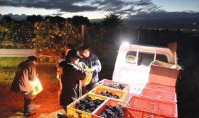夜明け前に赤ワイン用のブドウを収穫した「ナイトハーベスト」19日午前5時ごろ
