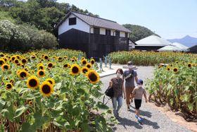 咲きそろったヒマワリを楽しむ家族連れ=小豆島町田浦、二十四の瞳映画村