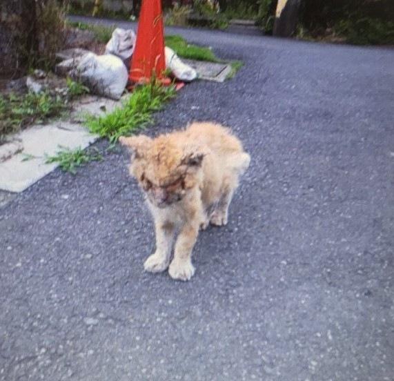 薬品をかけられるという虐待に遭ったボロボロの猫、虎吉(写真:ねこけんブログより)